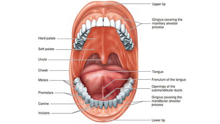 Oral Cavity Figure